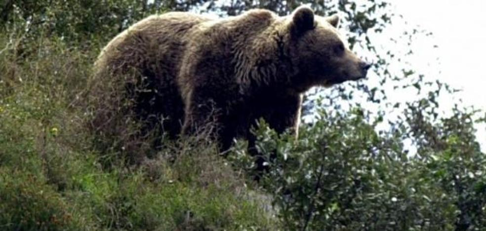 Un oso mata a una oveja y otras 208 mueren del susto