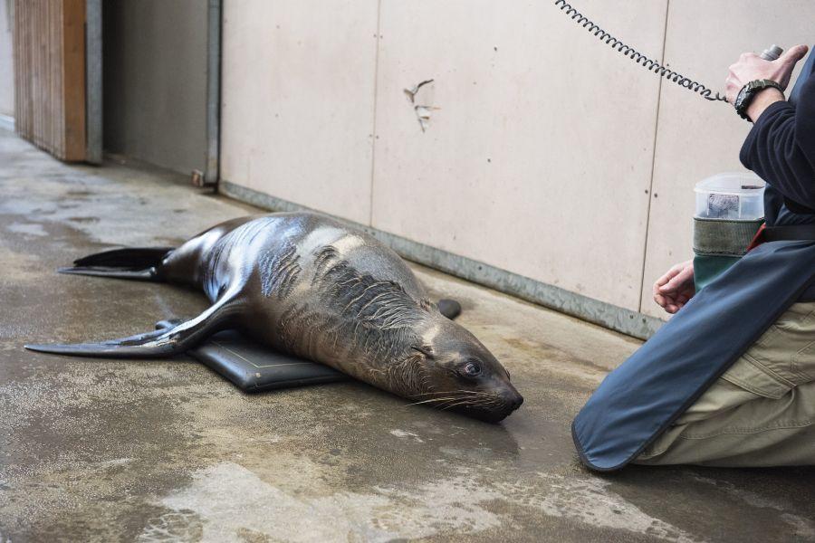 Tarwin, una foca con artritis