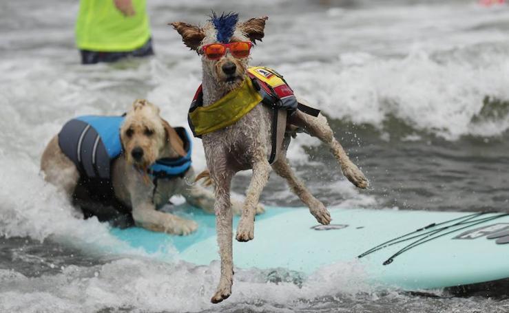 Los perros miden fuerzas en un campeonato de surf