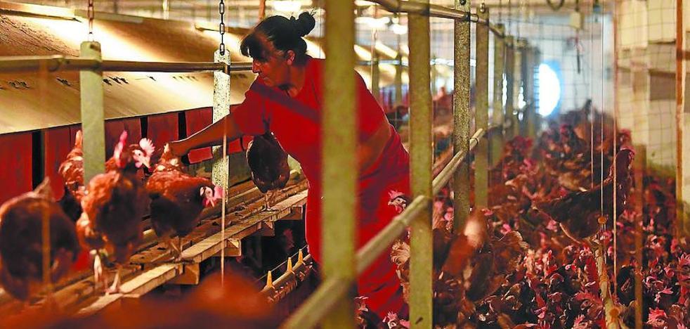 El Gobierno Vasco asegura que el huevo líquido contaminado detectado en Euskadi no ha llegado al consumidor