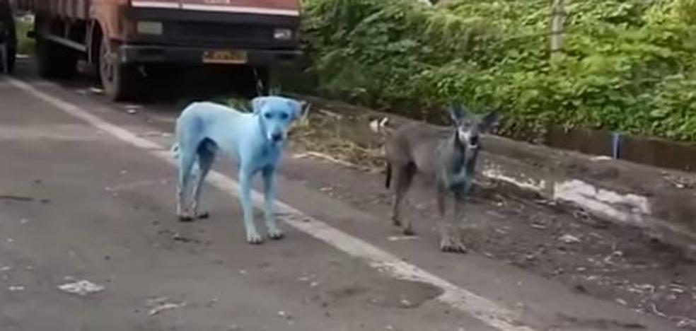 El misterioso caso de los perros azules de Bombay