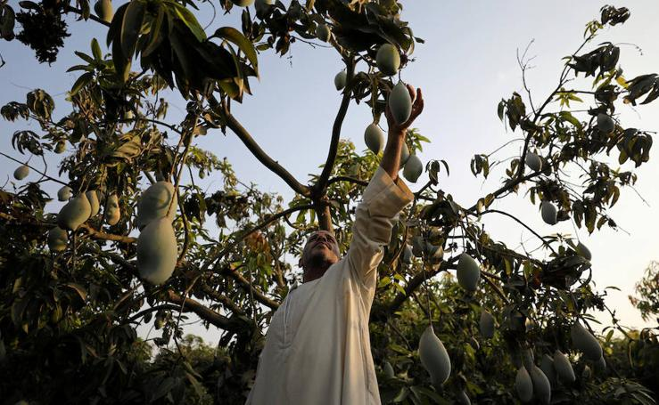 Recogida de mangos en Egipto