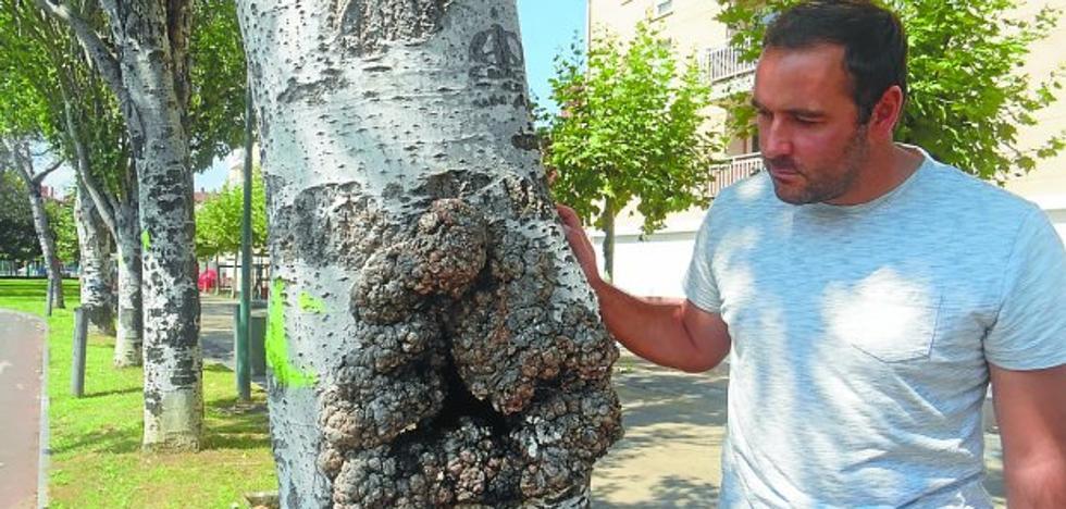 El Ayuntamiento quitará los árboles con riesgo de caída inminente