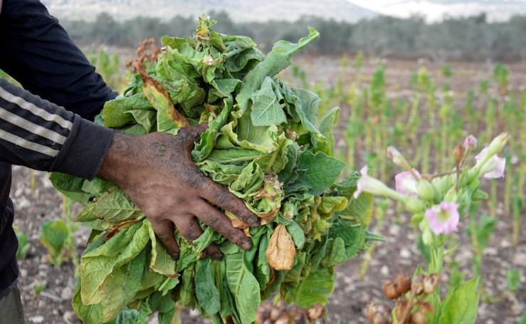 Tabaco, del campo al mercado