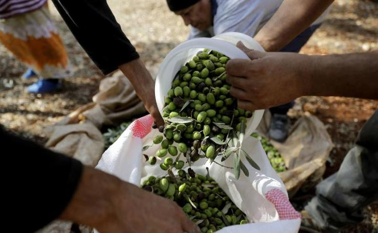 Recogida de oliva en Líbano