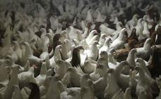 La OMS pide prohibir los antibióticos en animales de consumo humano