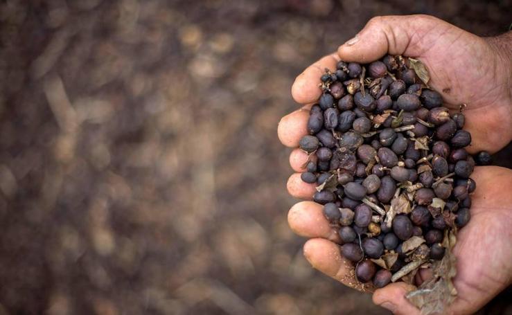 Café Arábica, un grano de calidad a precio asequible