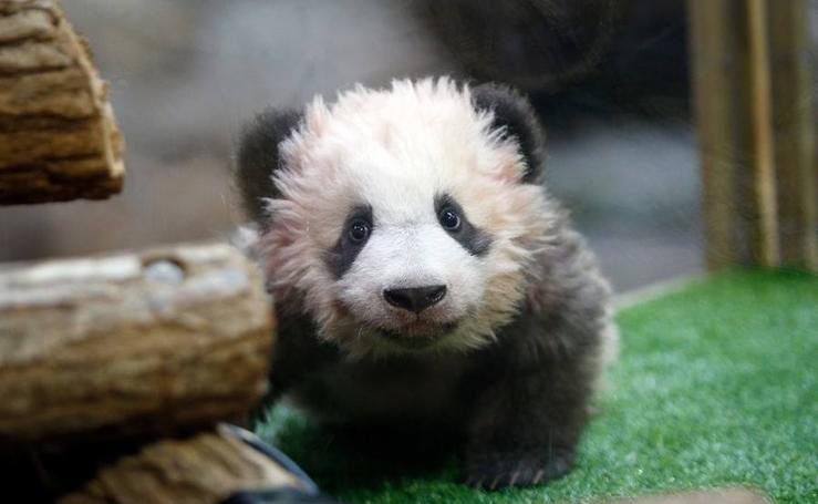 Yuan Meng, el bebé panda de cuatro meses