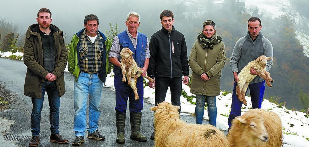 Corderos de oveja latxa para las celebraciones de Navidad
