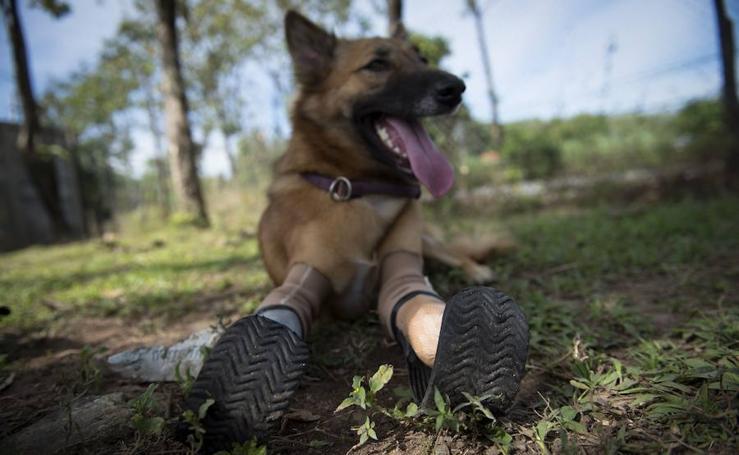 Cola, el perro con piernas protésicas