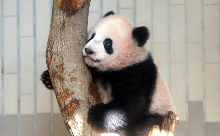 Xiang Xiang se prepara para su debut en público