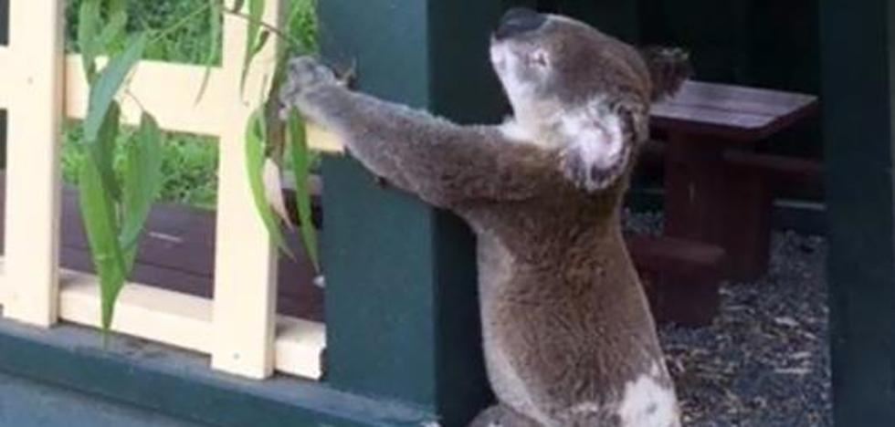 Australia investiga la muerte de un koala que apareció atornillado a un poste