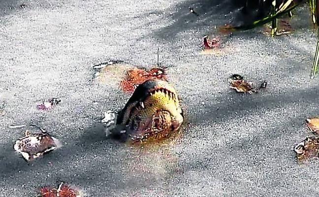 ASí sobrevive un caimán en el agua congelada