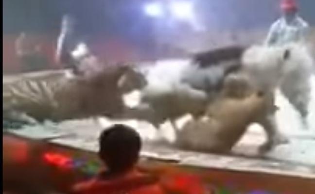 El brutal ataque de un tigre y una leona a un caballo en una función de circo