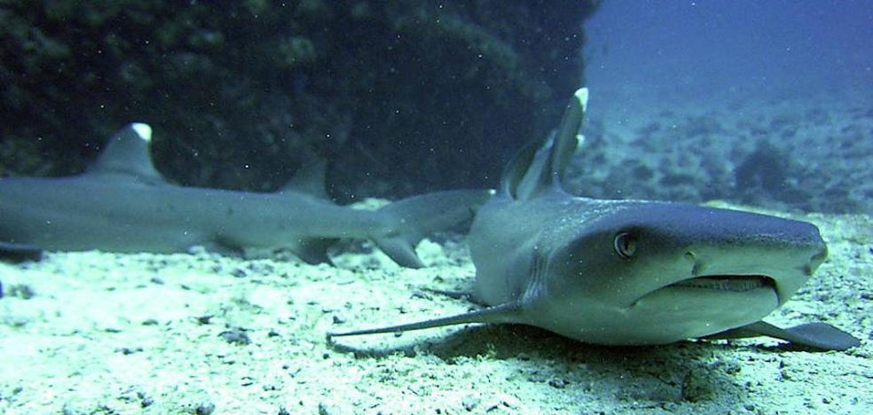 El declive de población de tiburones puede cambiar la fisonomía de los peces