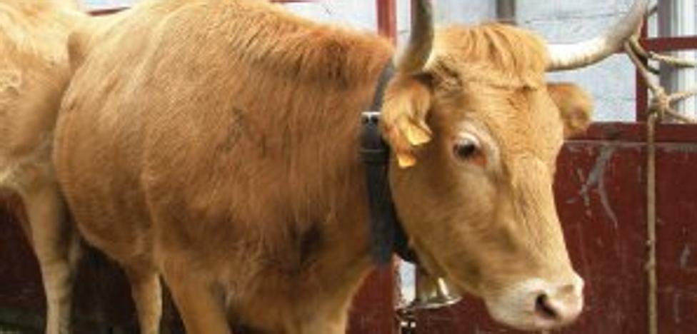 El Gobierno autoriza el uso del logotipo 'Raza autóctona' a la raza bovina Betizu