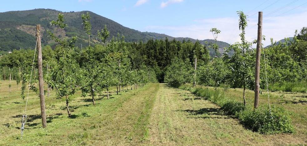 El manzano autóctono, esencia para nuestra sagardoa