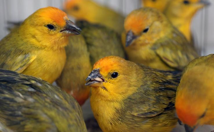 Rescatados del tráfico ilegal de aves