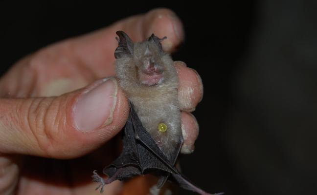 Piden año y medio de cárcel y 135.000 euros de indemnización por matar a 45 murciélagos