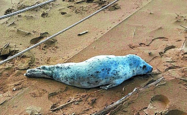 Aparece una foca en la playa de Zarautz