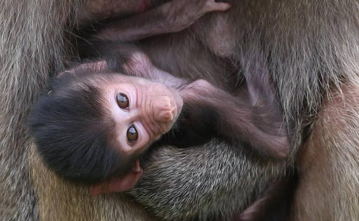 'Gana', el pequeño babuino