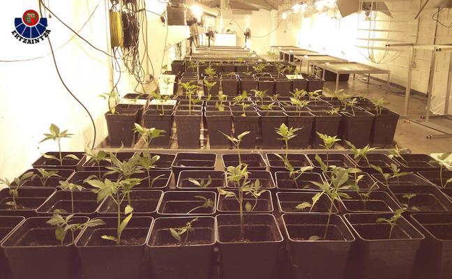 La Ertzaintza desmantela una importante plantación de marihuana en un pabellón de Irun