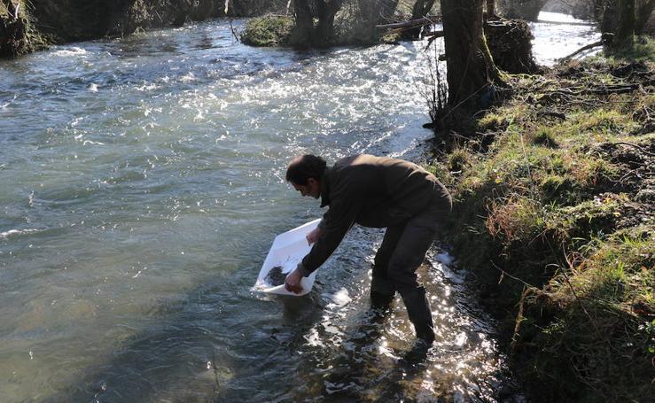 Angulas para repoblar los ríos Oiartzun y Oria