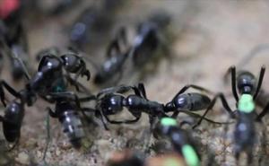 Las hormigas enfermeras que rescatan a sus 'guerreros' heridos en batalla y los curan