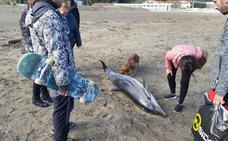 Aparece un delfín muerto en la playa de Deba