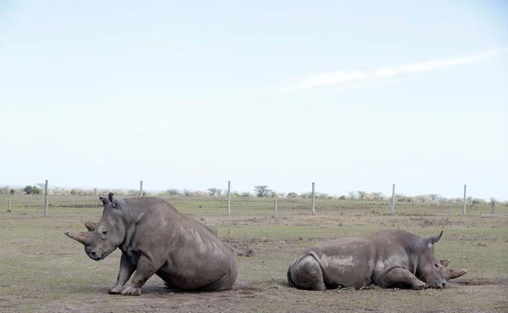 Sudán, Najin y Patu: últimos rinocerontes blancos del norte