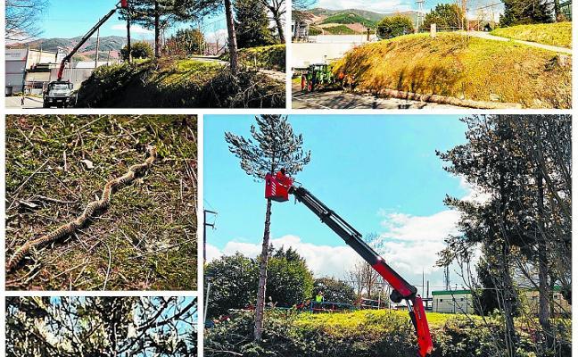 Talados cinco pinos en Azkoagain para parar los pies a la procesionaria