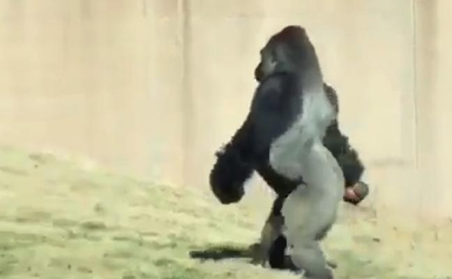 El gorila que camina como un humano para no ensuciarse las manos