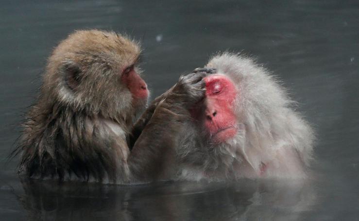 Baño termal para los macacos