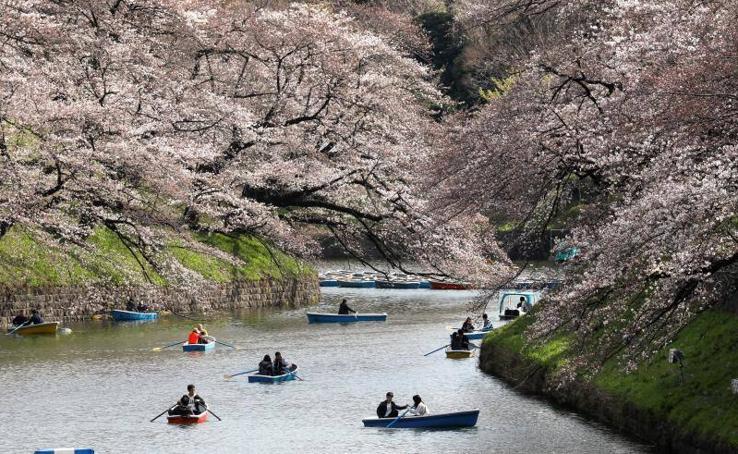 La floración de los cerezos en Japón