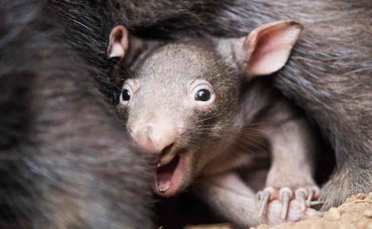 Apari, el pequeño wombat