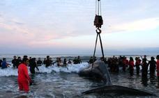 Tratan de rescatar a una ballena varada desde el sábado en la costa argentina