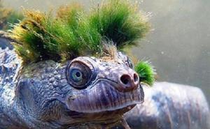 La 'tortuga punk', en peligro de extinción