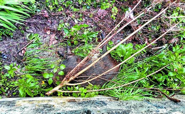 Aparece un jabalí muerto en el Kilimon