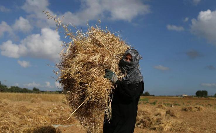 Tiempo de cosecha en Gaza