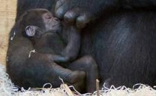 Cabárceno tiene un nuevo y pequeño gorila