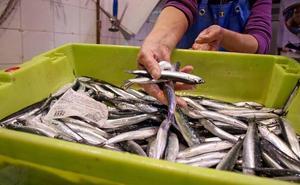 Pescadores del Cantábrico acuerdan rebajar la pesca diaria de anchoa para no agotar el cupo