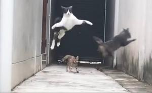 Un gato escapa a lo 'Tom Cruise' de la emboscada de otros tres felinos