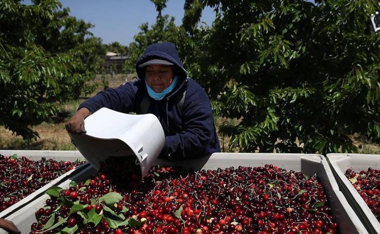 Disminuye la cosecha de cerezas en California