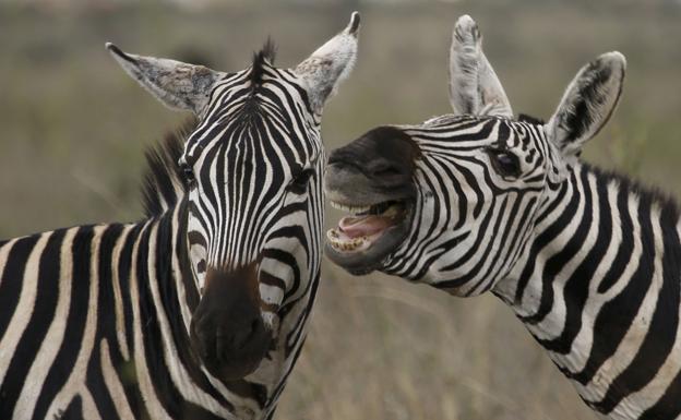 ¿Sabias cuál es la función de las rayas en las cebras? Entérate