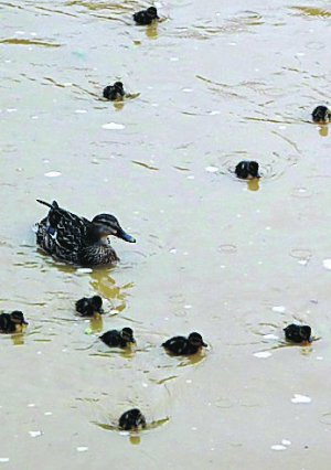 Intentan llevarse las cr�as de patos nacidas en Marealta