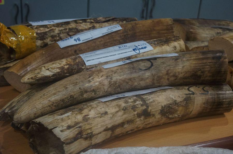 Malasia incauta colmillos de elefante y escamas de pangolín
