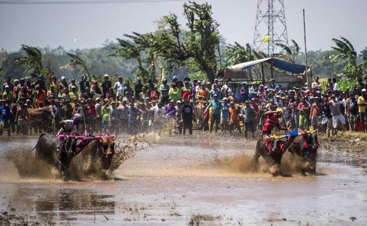 Carrera de búfalos en Java