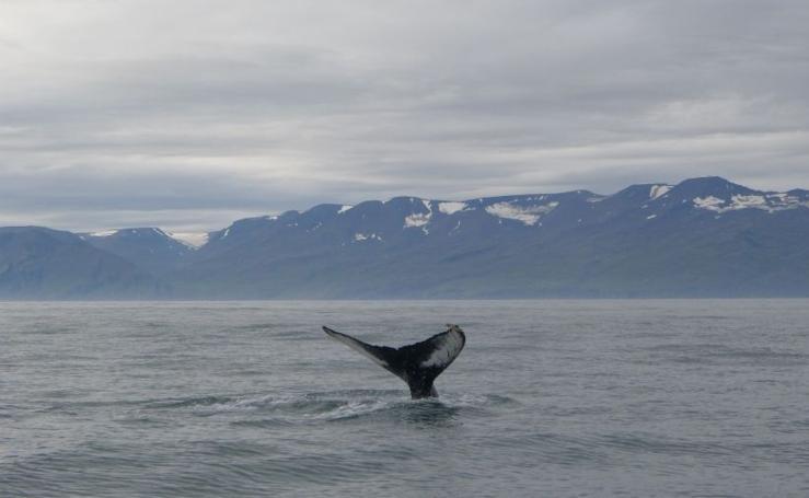 Avistamiento de ballenas en Húsavíck