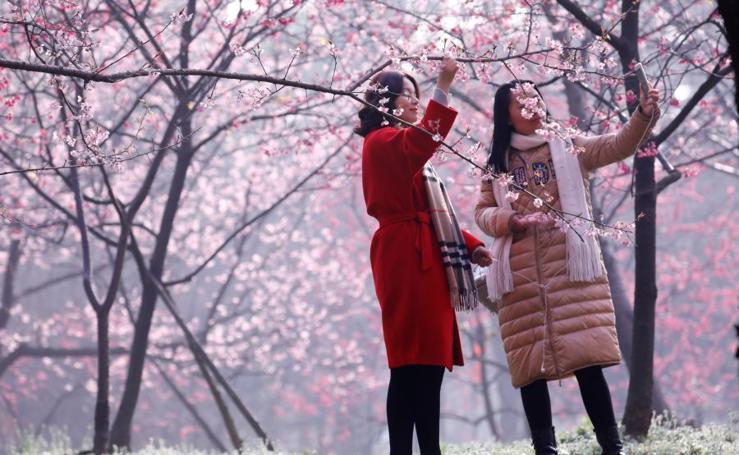 El espectáculo de los cerezos en flor