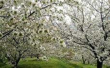 Es la hora de los cerezos